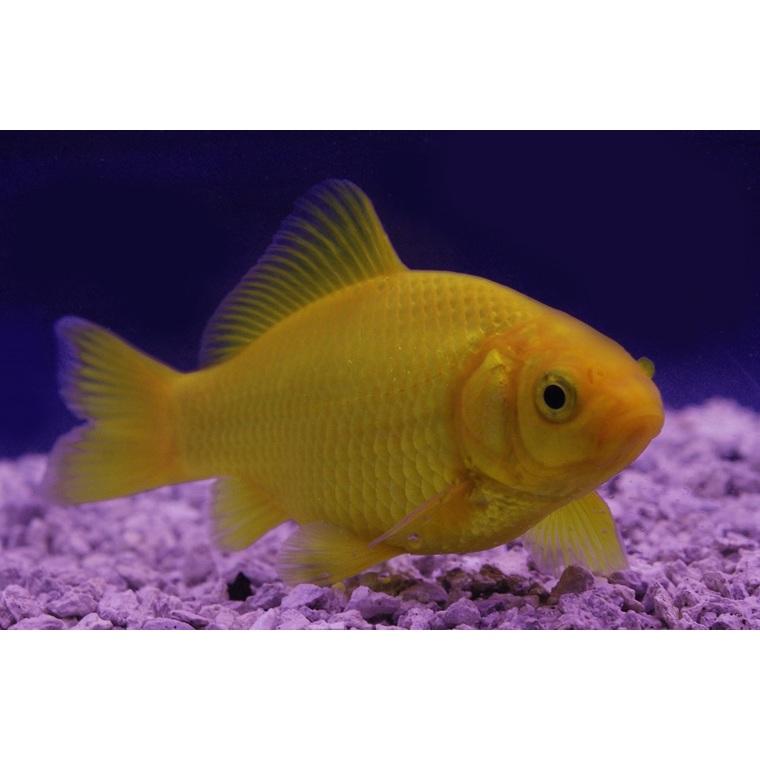Poissons de bassin carpe koi poisson rouge et jaune for Poisson carpe koi prix