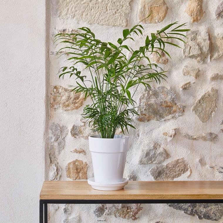 Chamaedorea Elegans botanic® - Pot de Ø 15 cm 615401
