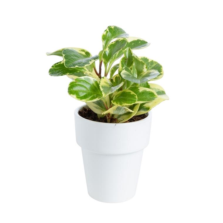 Peperomia Golden Genua botanic® - Pot de Ø15 cm 615402