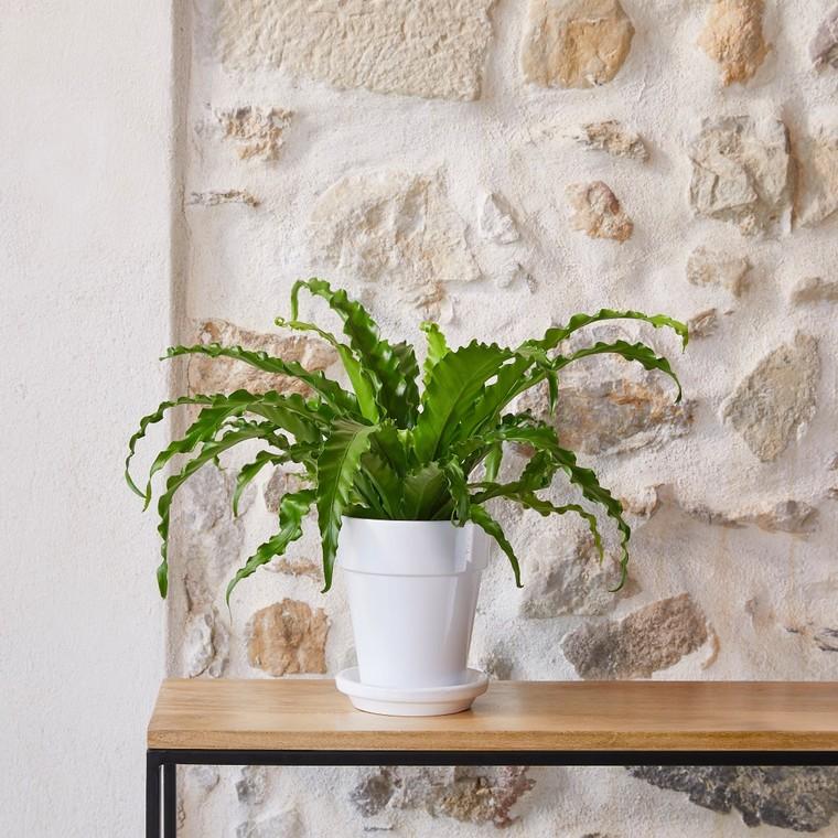 Asplenium Osaka botanic® - Pot de Ø 21 cm 615407