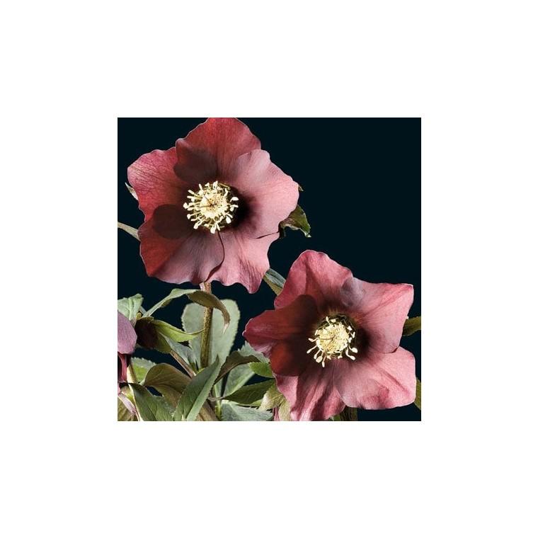 Helleborus Orientalis Rouge. Le pot de 1 litre 61598