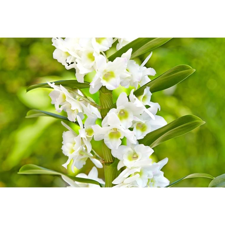 Orchidée Dendrobium 630312