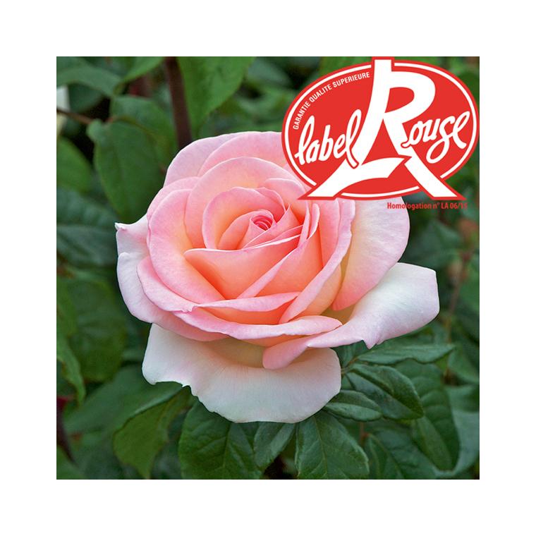 Rosier Prince Jardinier® Label Rouge en pot de 5L 647007