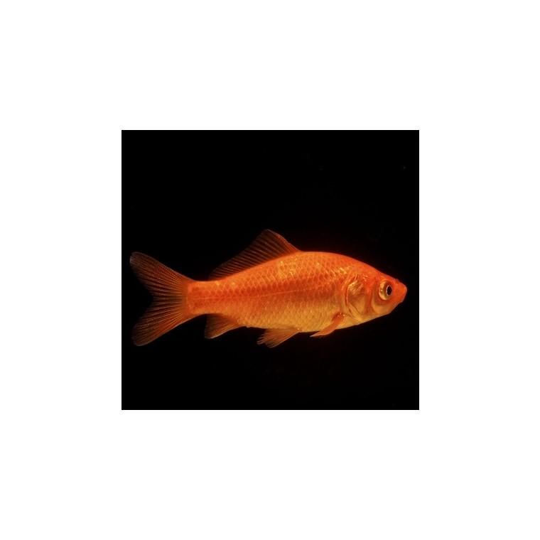 Poisson rouge 7-10 cm 471196