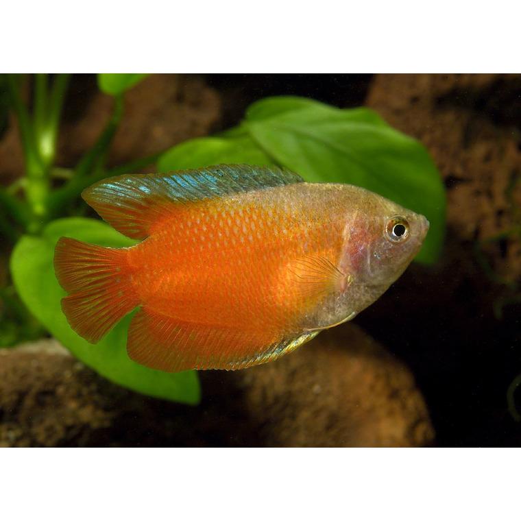 Colisa lalia rouge poissons et invert br s d 39 eau douce for Acheter poisson rouge botanic