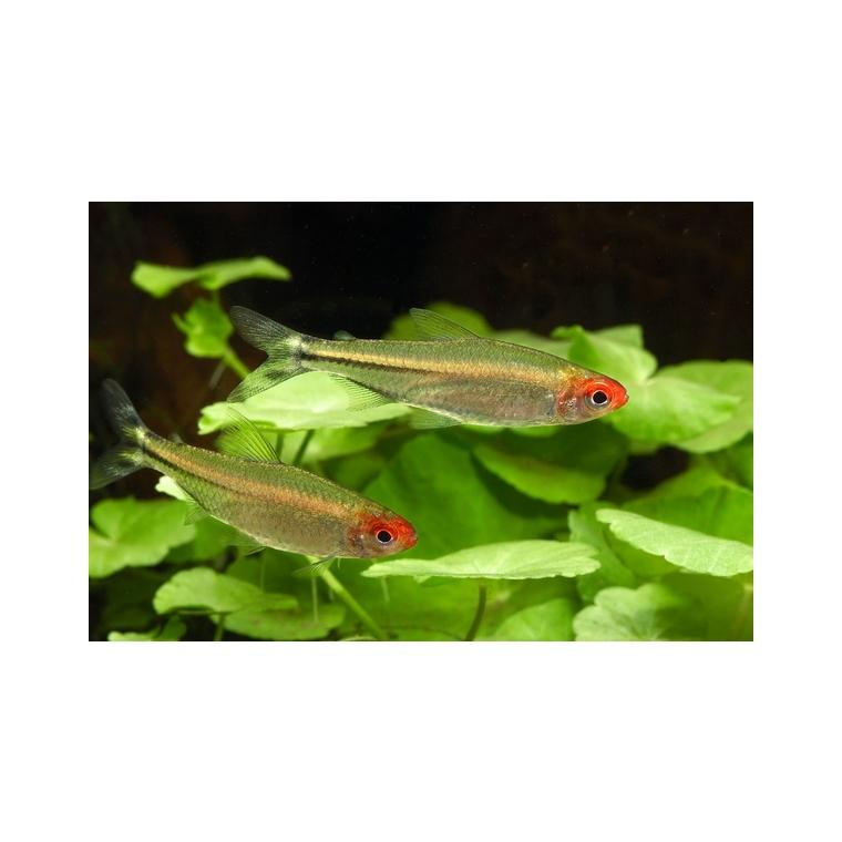 Nez rouge poissons et invert br s d 39 eau douce animalerie for Acheter poisson rouge botanic