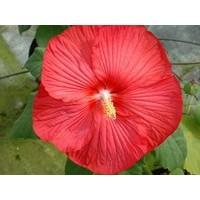 Hibiscus Moscheutos - Pot de 4 litres