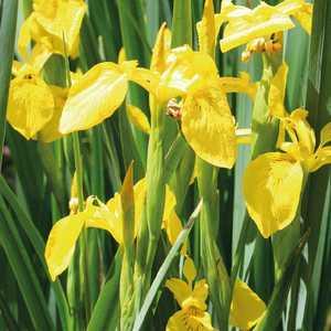 Iris des marais godet 9x9 cm