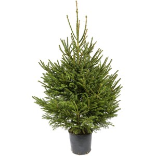 Sapin de Noël en pot Picea Excelsa 125/150 cm 781670