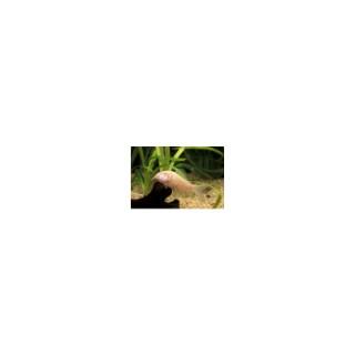 Corydoras albinos 785219