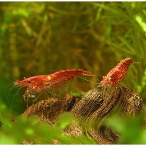 Crevette Neocaridina