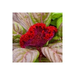Amaranthe crête de coq. Le pot de 9x9 cm