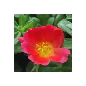 Pourpier à fleurs simples. La suspension diam 23 cm 385108