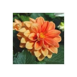 """Dahlia nain multicolore """"Région centre"""" en pot de 2,5 L"""
