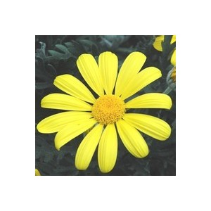 Euryops Chrysanthemoides. Le pot de 1 litre