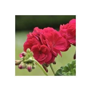 Géranium zonale coloris varié en pot de 5 L