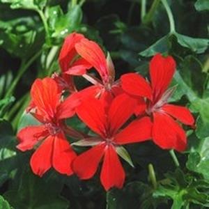 Géranium lierre à  fleurs simples. Le pot de 1 litre