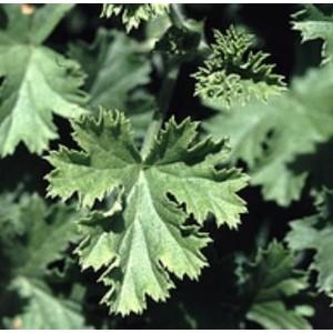 Géranium à feuillage odorant.Le pot de 1 litre