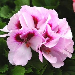 Géranium pensée à grandes fleurs.Le pot de 1 litre