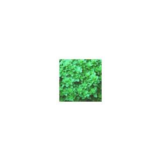 Basilic Fin Vert. Le pot de 10,5 cm