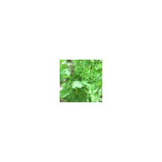Coriandre. Le pot de 10,5 cm