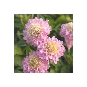 SCABIOSA pink mist. Le pot de 9 x 9 cm
