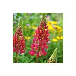 Lupin coloris varié en pot de 2,5 L