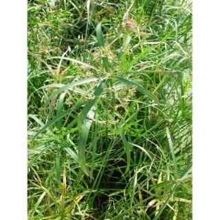 Cyperus