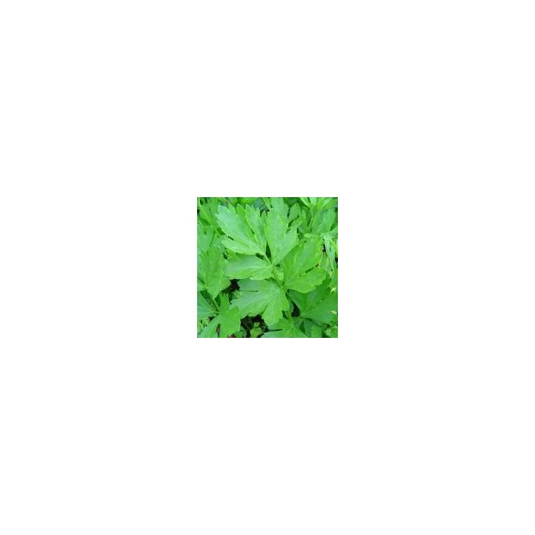 Céléri Vivace. Le pot de 1 litre recyclé 52501