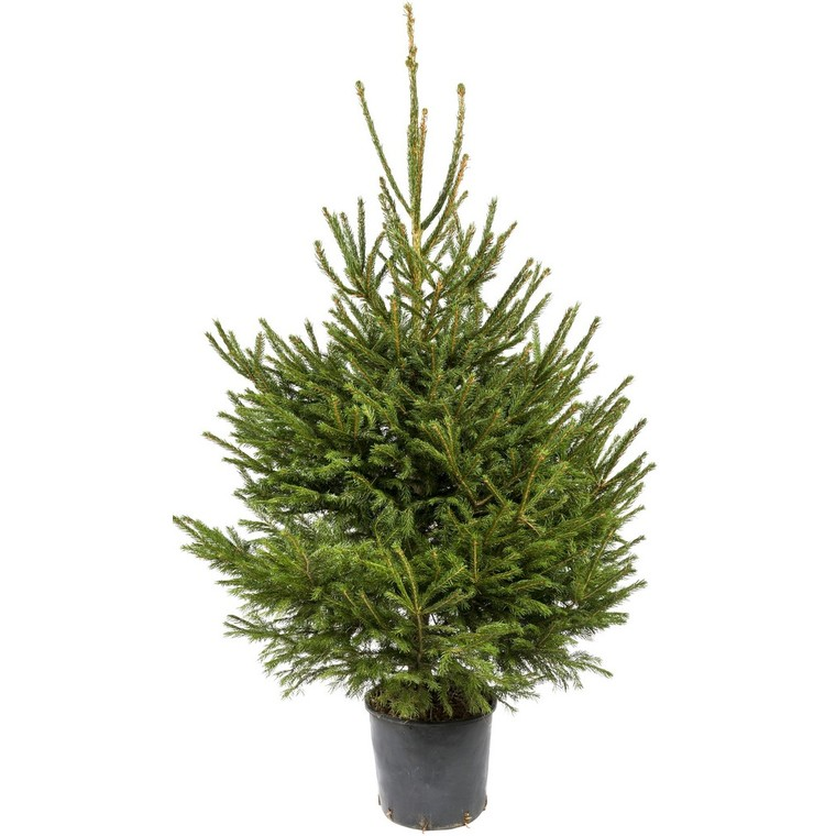 Sapin de Noël en pot Picea Excelsa 150/175 cm 781893