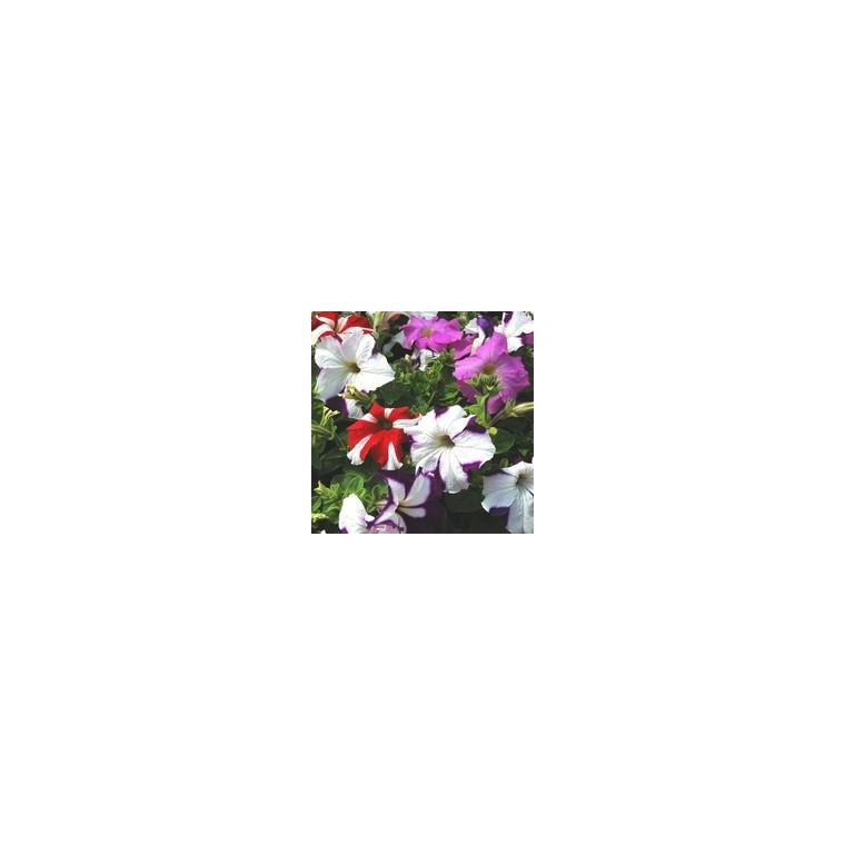 Pétunia à massif rose rouge. Le pack de 6 plants 916448