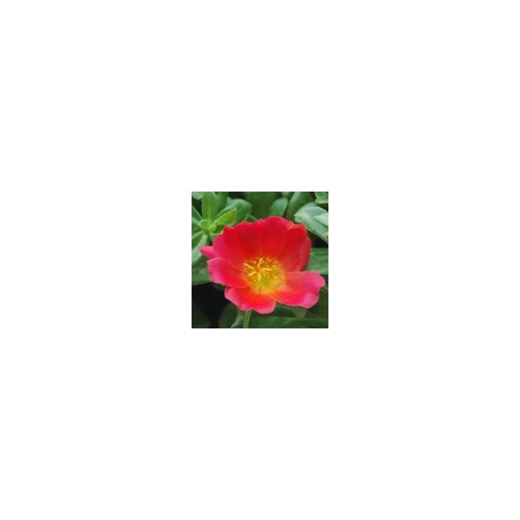 Pourpier à fleurs simples. Le pot de 1 litre 790974