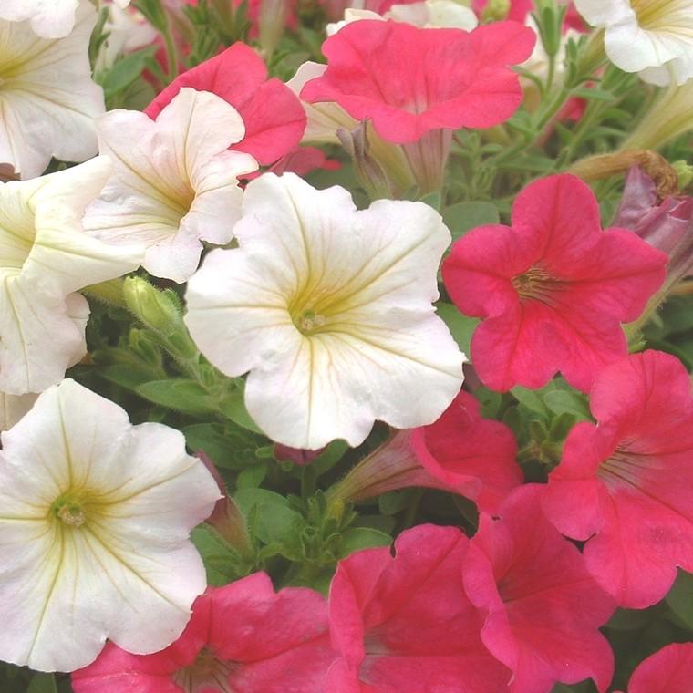 Pétunia à massifs. La cagette de 14 plants 351933