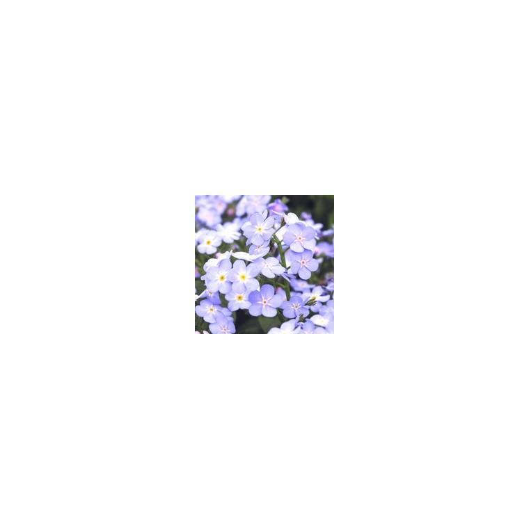 Myosotis. La barquette de 6 plants 790509