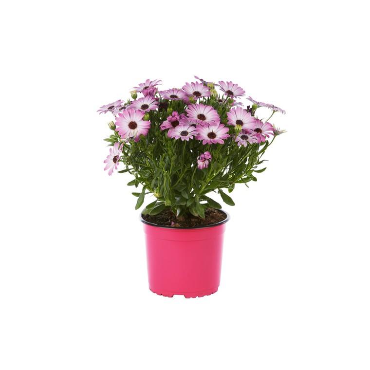 Ostéospermum dimorphothéca. Le pot de 1 litre 790887