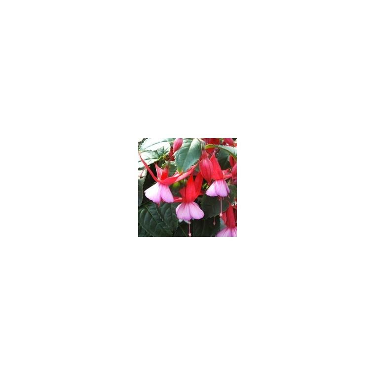 Fuchsia mini tige. Le pot de 2,5 litres 836178