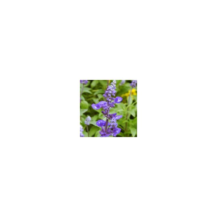 Sauge Farineuse Bleue. Le pack de 6 plants 923044
