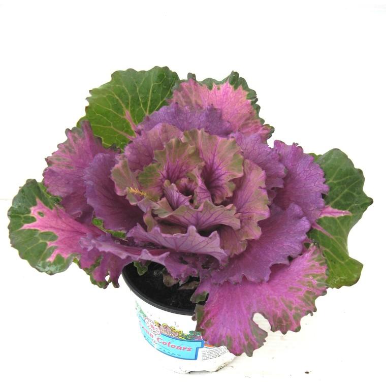 Chou décoratif. Le pot de 1 litre 791648