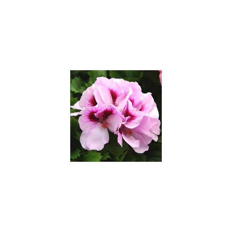 Géranium pensée à grandes fleurs. Le pot de 1 litre 792109