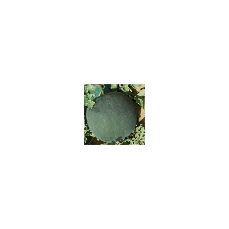 Pastèque. Le pot compostable de 10,5 cm 41641