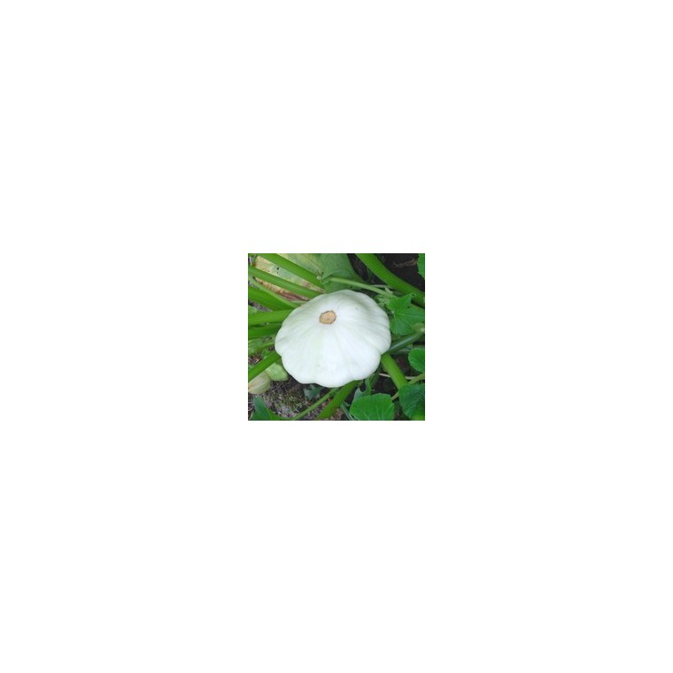 Courge Patisson Blanc. Le pot compostable de 10,5 cm 44380