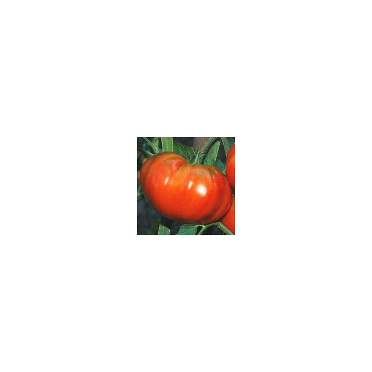 Tomate côtelée Buffalo Steak. Le pot compostable de 10,5 cm 447484