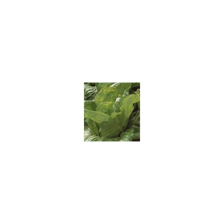 Chicorée Pain De Sucre Vespero bio. La barquette de 12 plants 447448