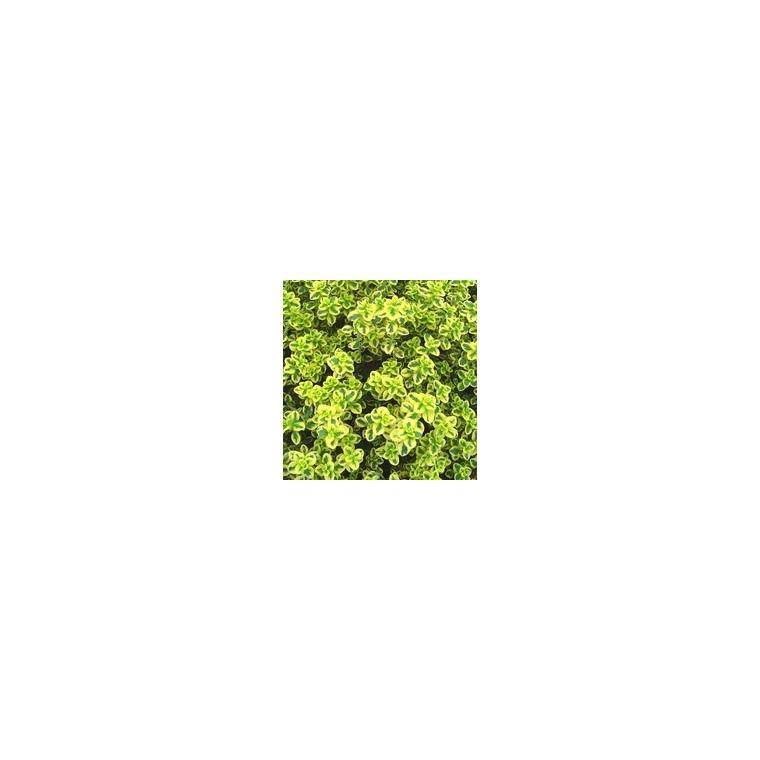 Thym Citron bio. Le pot recyclé de 2.5 litres 14894