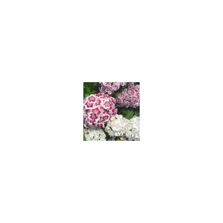 Œillet des poètes. La barquette de 6 plants 790524