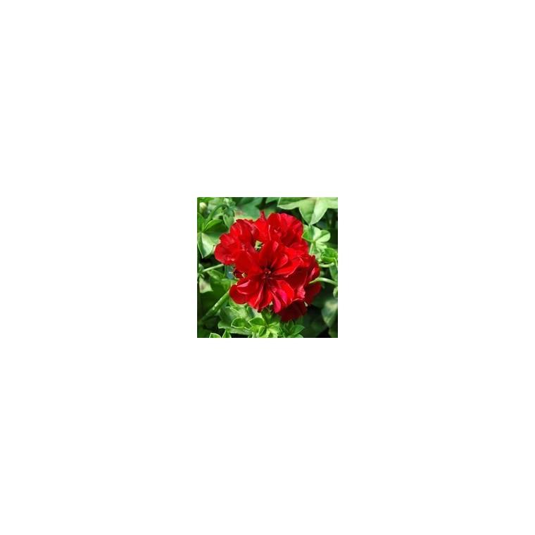 Géranium lierre à  fleurs doubles. Le pot de 10.5 cm 312921