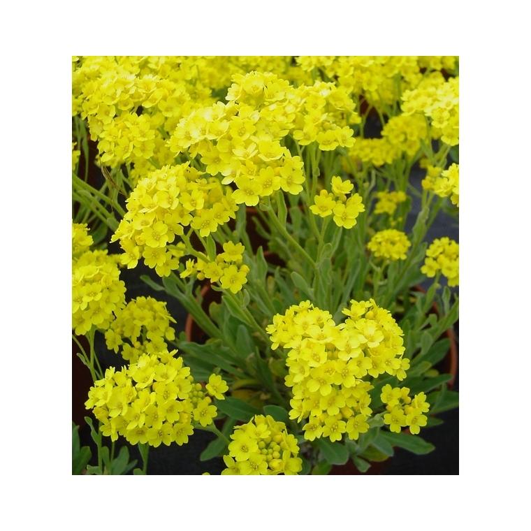 Alysse corbeille d'or. La barquette de 6 plants 794358