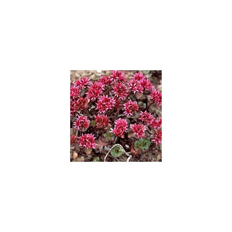 Sedum Spurium. Le pot de 9x9 cm 102508