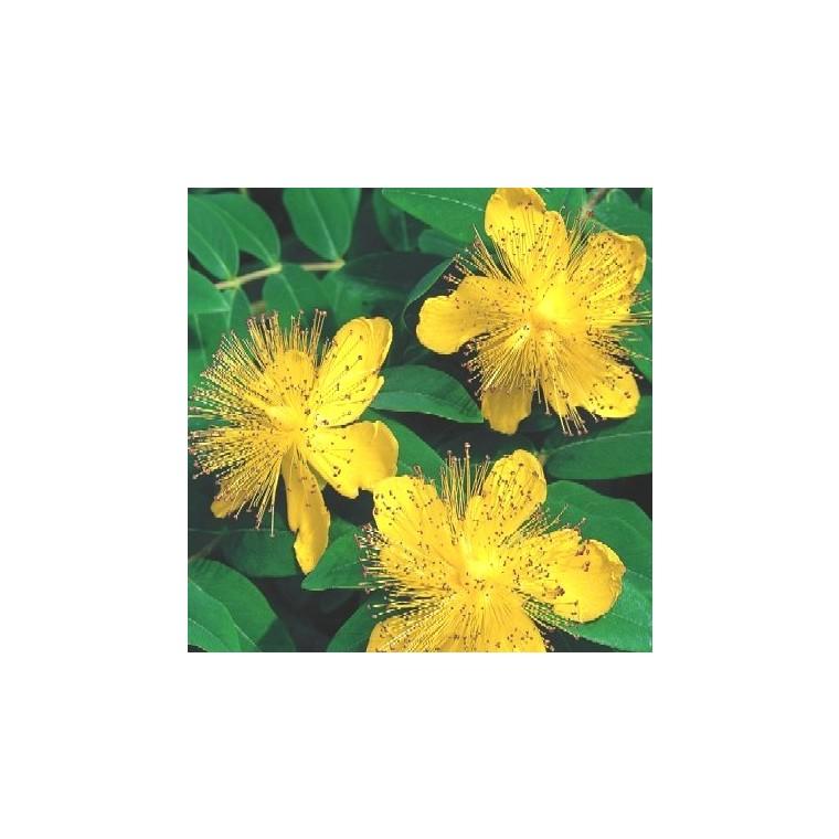 Hypericum Calycinum. La barquette de 6 plants 810951