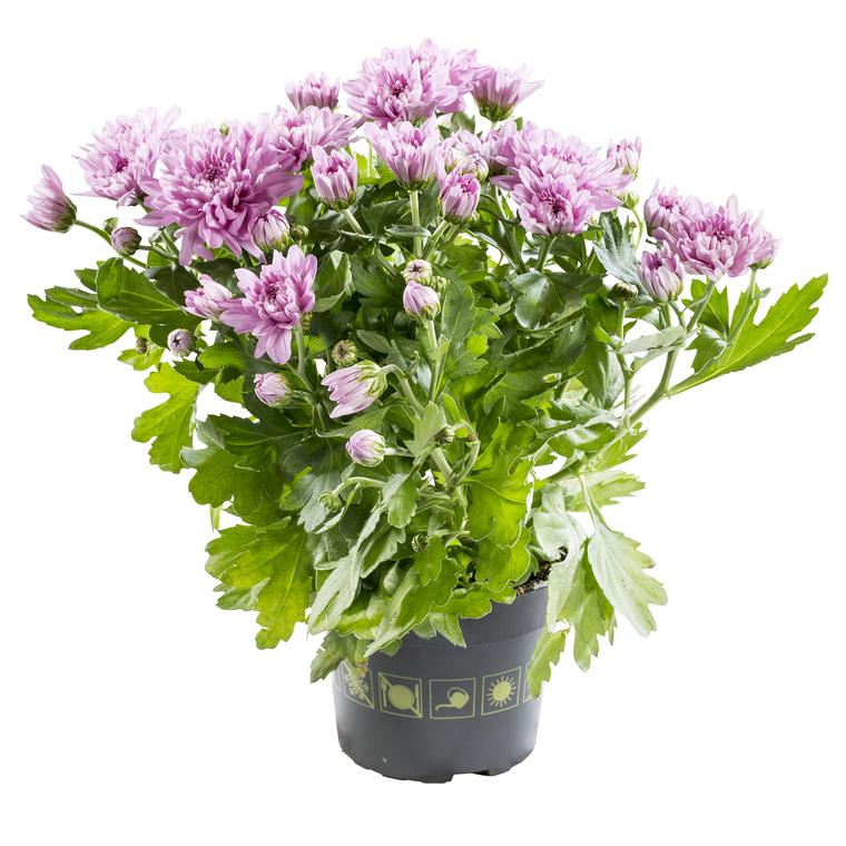 Mini Chrysanthème. Le pot de 10.5 cm 797791